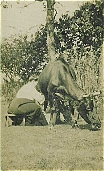 Cabinet Photo - Elsie Cochrane Milks Cow.