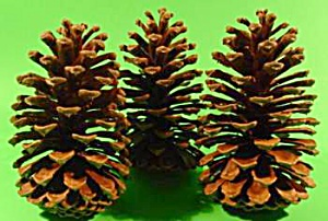Large Southern Pine Cones - Great For Crafts