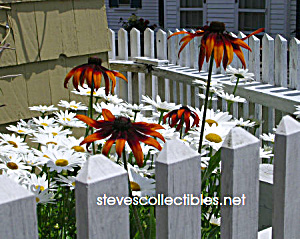 Daisies Photograph No. 1 - Limited Edition