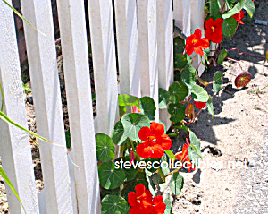 Peeking Garden Flower Photograph - Ltd Edition