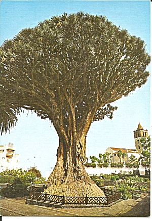 Tennerife Canary Islands 1000 Year Old Tree Cs11731