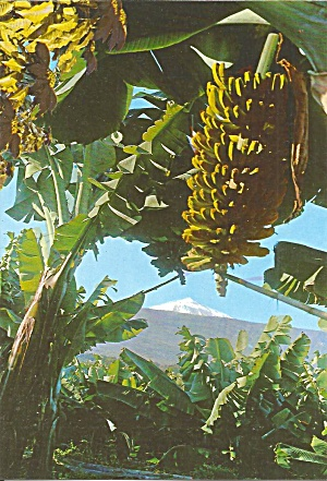 Tennerife Canary Islands Bananas And Snow Cs11741