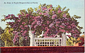 Arch Of Purple Bougainvillea Florida P38630